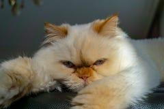 Персидский кот сидя на кресле смотря камеру стоковые фото