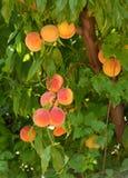персики ветви Стоковое фото RF