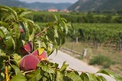 Персики в виноградниках Wachau, Австрии Стоковая Фотография
