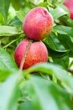 персики зрелые Стоковая Фотография RF