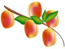 Персики на ветви Стоковое Изображение