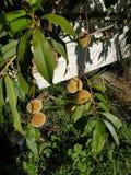Персики Стоковые Изображения