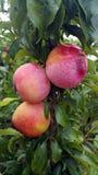 Персики Стоковые Изображения RF