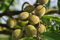 Персики Grean Стоковые Фото