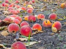 персики grounf поля Стоковое Изображение RF