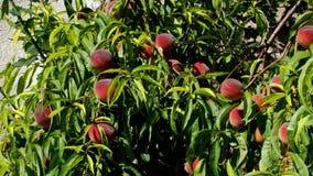 Персиковое дерево с растущим плодоовощей в саде видеоматериал