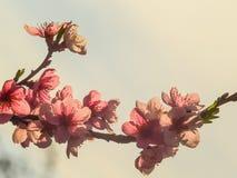 Персиковое дерево Стоковое Изображение RF