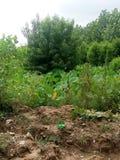 Персиковое дерево и заводы таро Стоковое фото RF