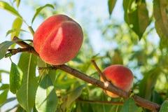 персиковое дерево свежих фруктов стоковая фотография rf