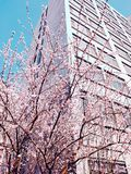 Персиковые дерева стоковое фото rf