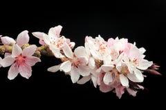 персик ветви цветений Стоковое Изображение