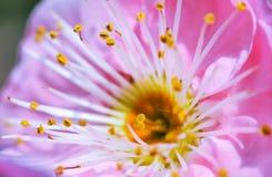 Персик и пчелы стоковые фотографии rf