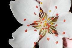 персик крупного плана цветения Стоковое Изображение RF