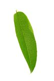 персик листьев Стоковые Фотографии RF