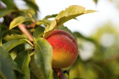 Персик персика красоты в солнечности стоковое фото rf