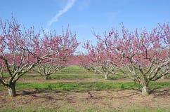 персик сада Стоковое Изображение RF