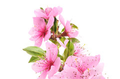 персик цветений стоковые изображения