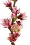 персик цветения Стоковая Фотография