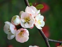 персик цветения Стоковые Фотографии RF