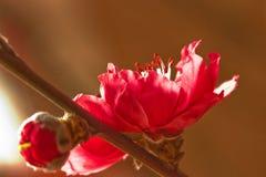 персик цветения Стоковые Изображения
