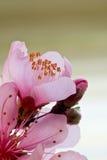 персик цветения стоковое фото rf