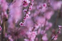 Персик цветка розовой весны красивый в лесе Стоковые Изображения RF
