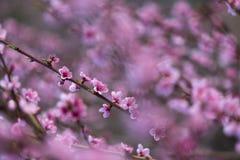 Персик цветка розовой весны красивый в лесе Стоковое фото RF