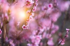 Персик цветка розовой весны красивый в лесе Стоковые Изображения