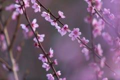 Персик цветка розовой весны красивый в лесе Стоковые Фотографии RF