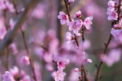 Персик цветка розовой весны красивый в лесе Стоковая Фотография