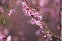 Персик цветка розовой весны красивый в лесе Стоковое Изображение RF