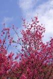 персик цветка Стоковые Фотографии RF