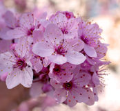 персик цветка Стоковые Изображения RF