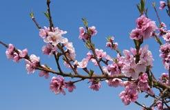 персик цветка Стоковые Изображения