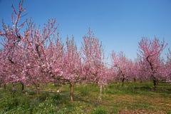 персик цветка Стоковая Фотография RF