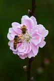 персик цветка Стоковое Изображение RF