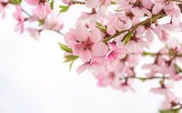 Персик чувствительных цветков весны зацветая Поздравительная открытка весны к 8-ое марта Стоковая Фотография