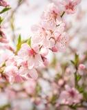 Персик чувствительных цветков весны зацветая Поздравительная открытка весны Стоковая Фотография RF