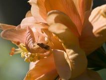 персик hibiscus4 Стоковое Изображение