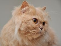 персиянка кота близкая вверх Стоковые Изображения