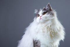 персиянка кота предпосылки серая Стоковые Фото