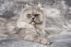 персиянка кота серая Стоковое Изображение