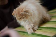 персиянка кота Стоковая Фотография