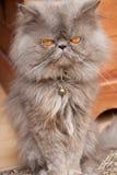 персиянка кота Стоковые Фотографии RF