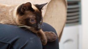 персиянка кота Стоковые Изображения