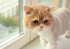 персиянка кота Стоковая Фотография RF