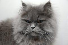 персиянка кота Стоковое Фото