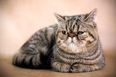персиянка кота стоковое изображение rf
