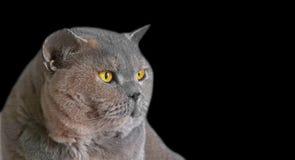 Персиянка кота shorthair британцев родословной изолированная на черноте стоковая фотография