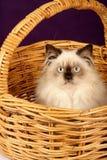 персиянка котенка корзины himalayan Стоковое Изображение RF